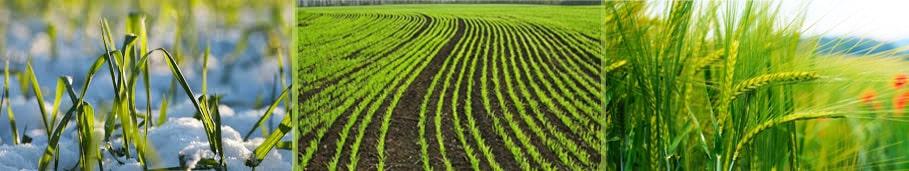 Добрива на озиму пшеницю