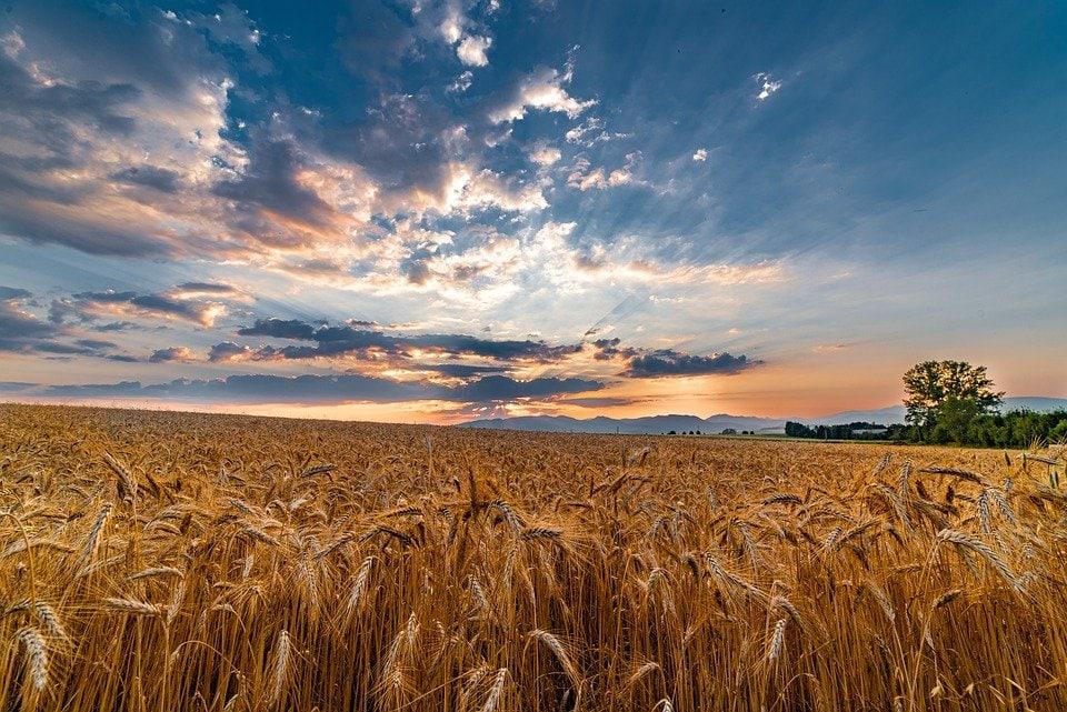 Добрива на пшеницю